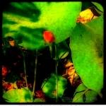 tracibunkers-com_lotus_bud